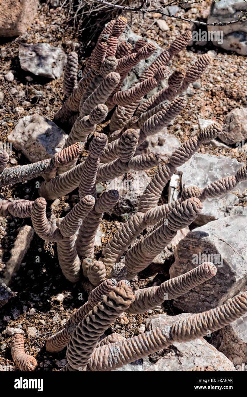 Spruce Cone Cactus, Tephrocactus articulatus var. inermis, Opuntia - Argentina - Stock Image