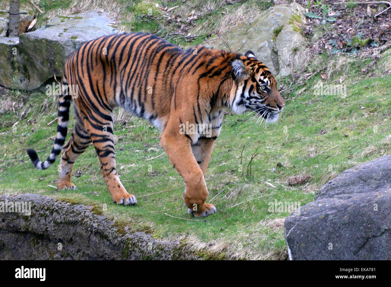 Close-up of a mature Sumatran tiger (Panthera tigris sumatrae) on the prowl - Stock Image