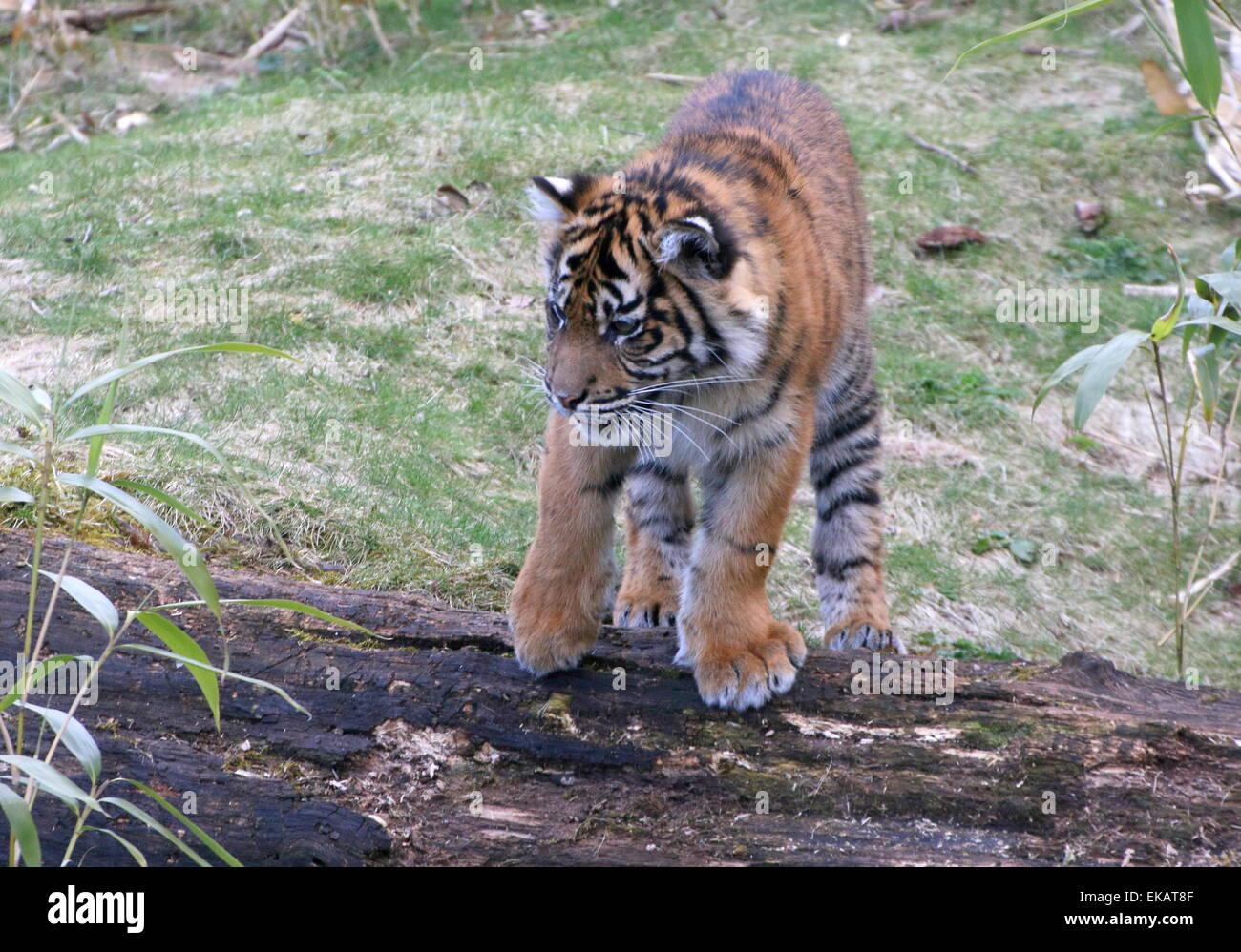 Young Sumatran Tiger cub (Panthera tigris sumatrae) - Stock Image
