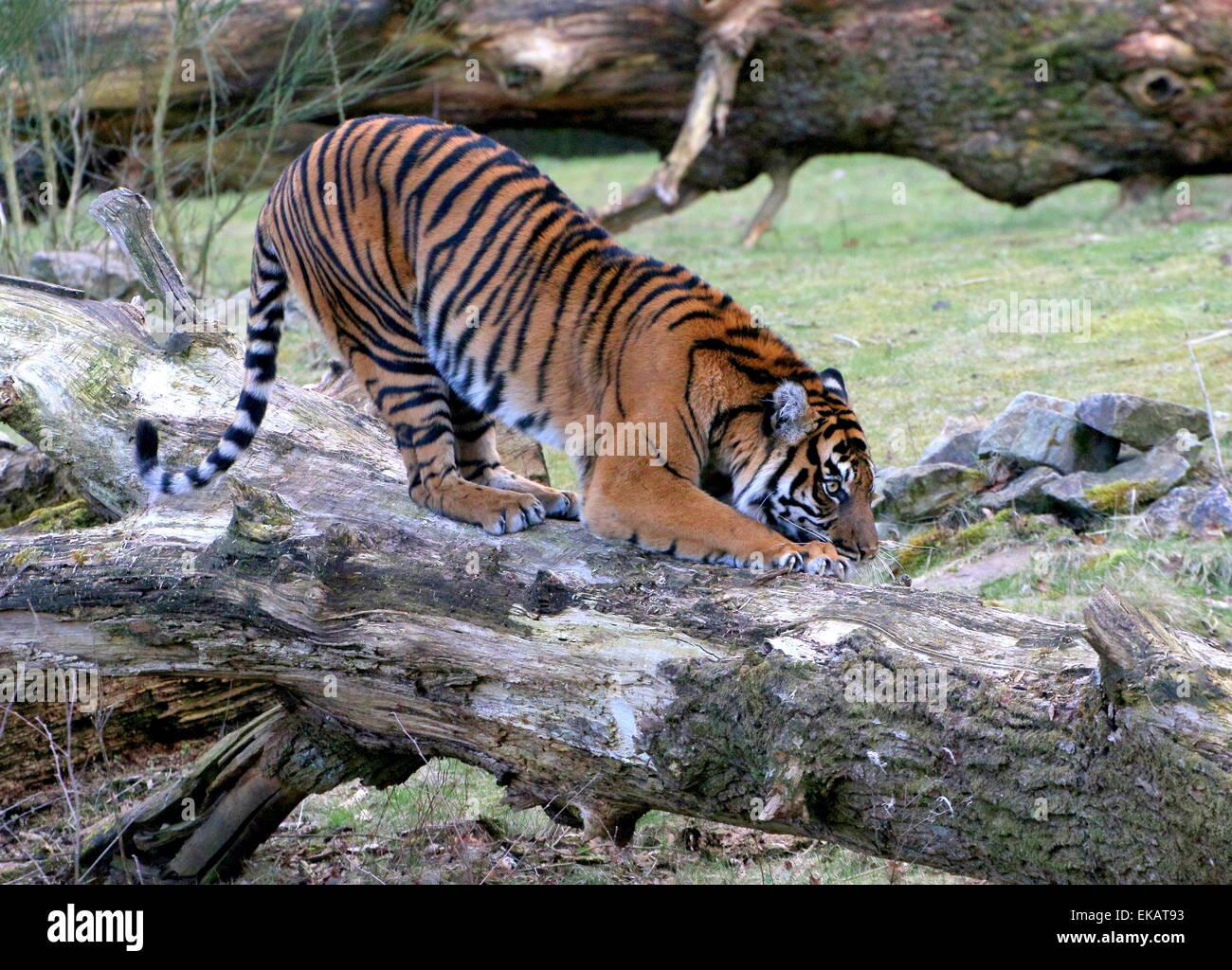 Female Sumatran tiger (Panthera tigris sumatrae) clawing at a tree trunk at Burgers' Bush Arnhem Zoo, The Netherlands - Stock Image