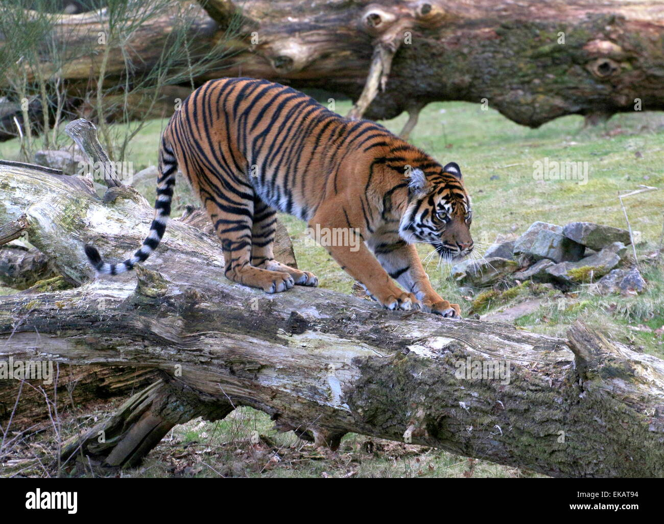 Female Sumatran tiger (Panthera tigris sumatrae) walking on a fallen tree - Stock Image