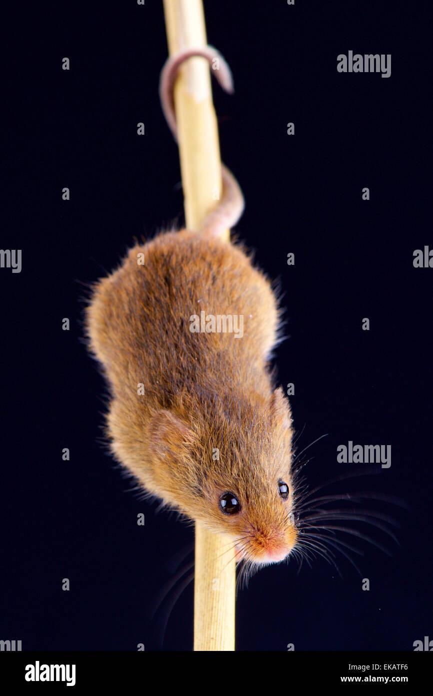 Eurasian harvest mouse (Microbes minutus) - Stock Image