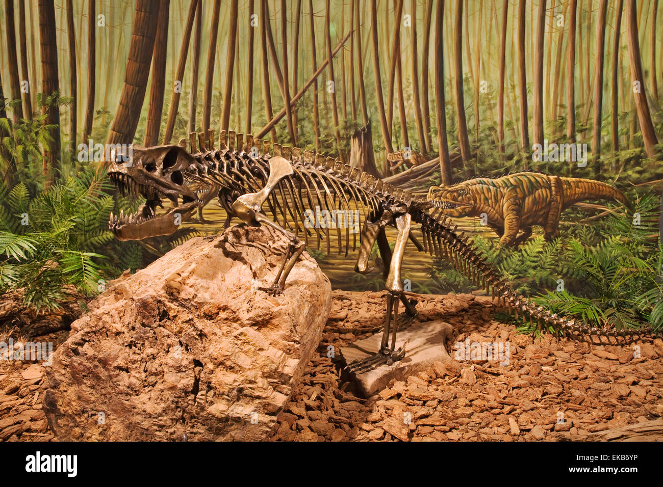 The skeleton of a Postucous,which was a creature from the late Triassic and hunted early dinosaurs among its prey - Stock Image