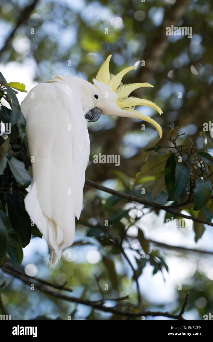Greater sulphur-crested cockatoo (Cacatua galerita), Queensland, Australia, Pacific - Stock Image