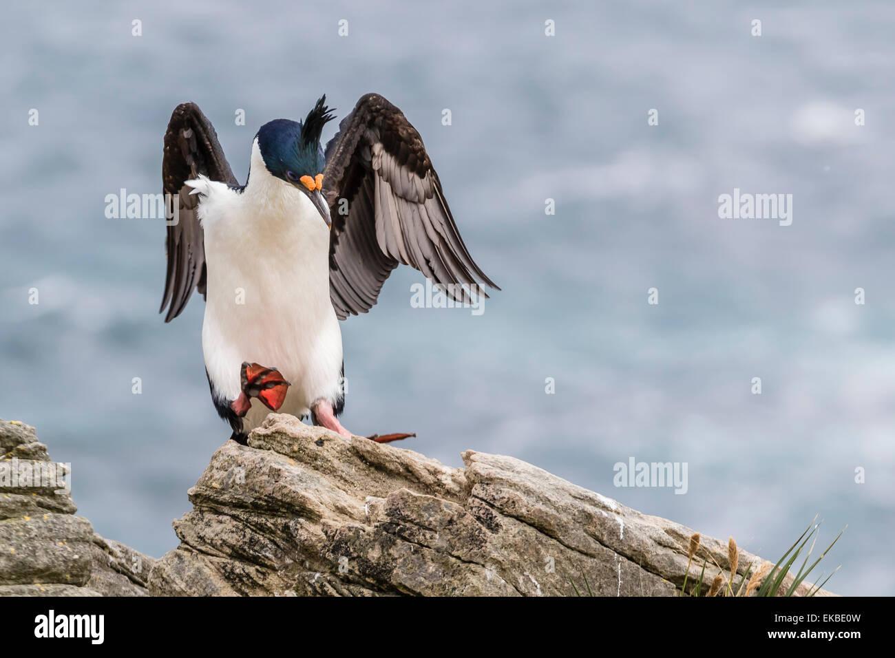 Adult imperial shag (Phalacrocorax atriceps) landing at nest site on New Island, Falkland Islands, U.K. Overseas - Stock Image