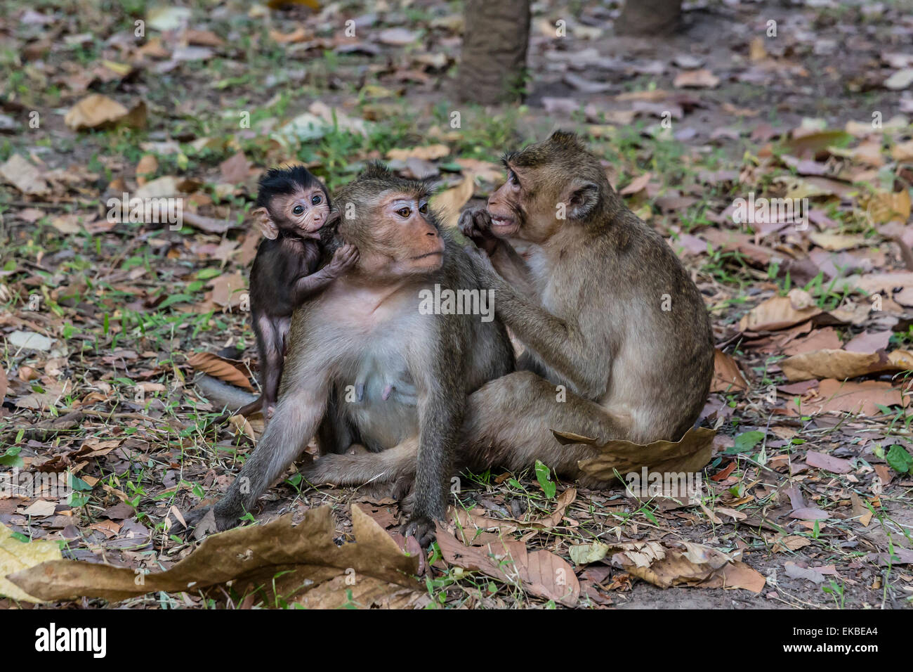 Long-tailed macaques (Macaca fascicularis) grooming near Angkor Thom, Siem Reap, Cambodia, Indochina, Southeast - Stock Image