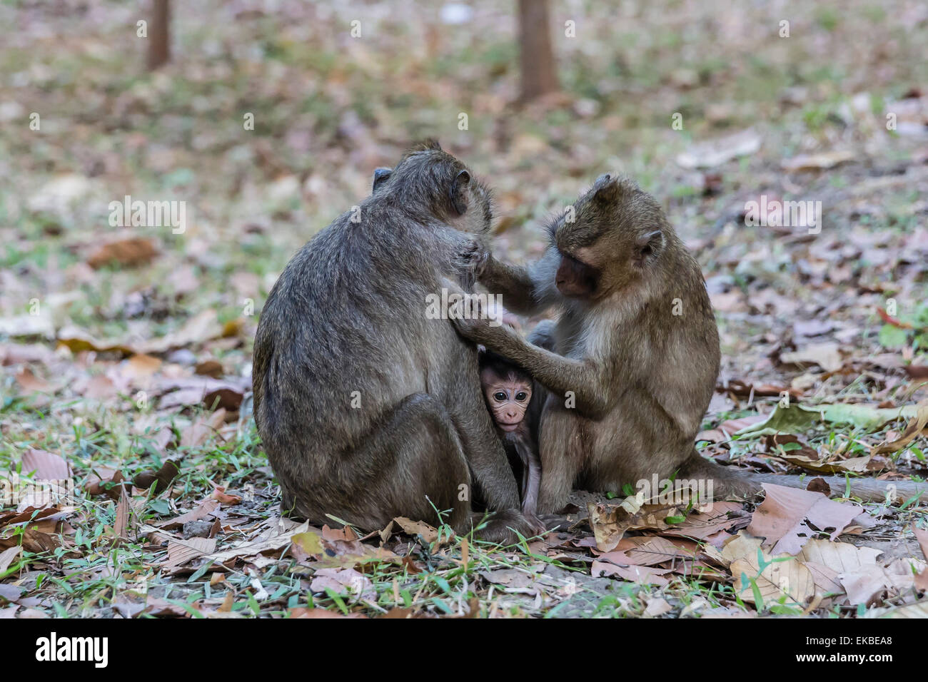 Long-tailed macaques (Macaca fascicularis)grooming near Angkor Thom, Siem Reap, Cambodia, Indochina, Southeast Asia, - Stock Image