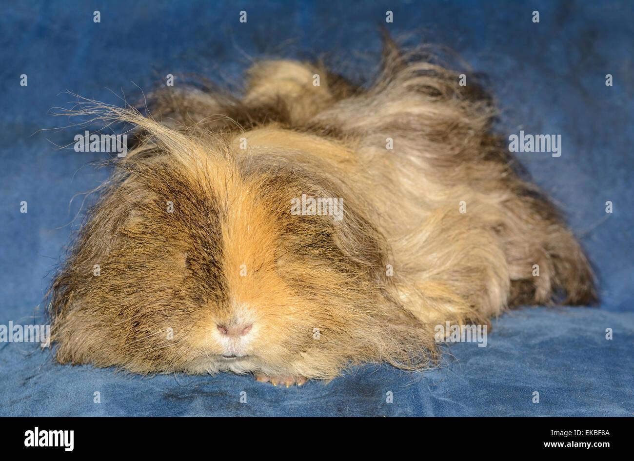 Fluffy male guinea pig sleeping. - Stock Image