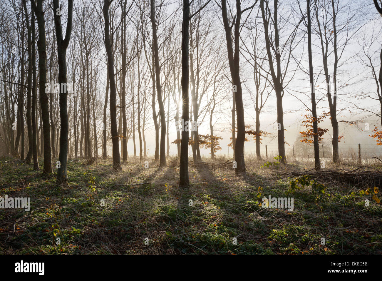 Misty wood in winter, Stow-on-the-Wold, Gloucestershire, Cotswolds, England, United Kingdom, Europe Stock Photo