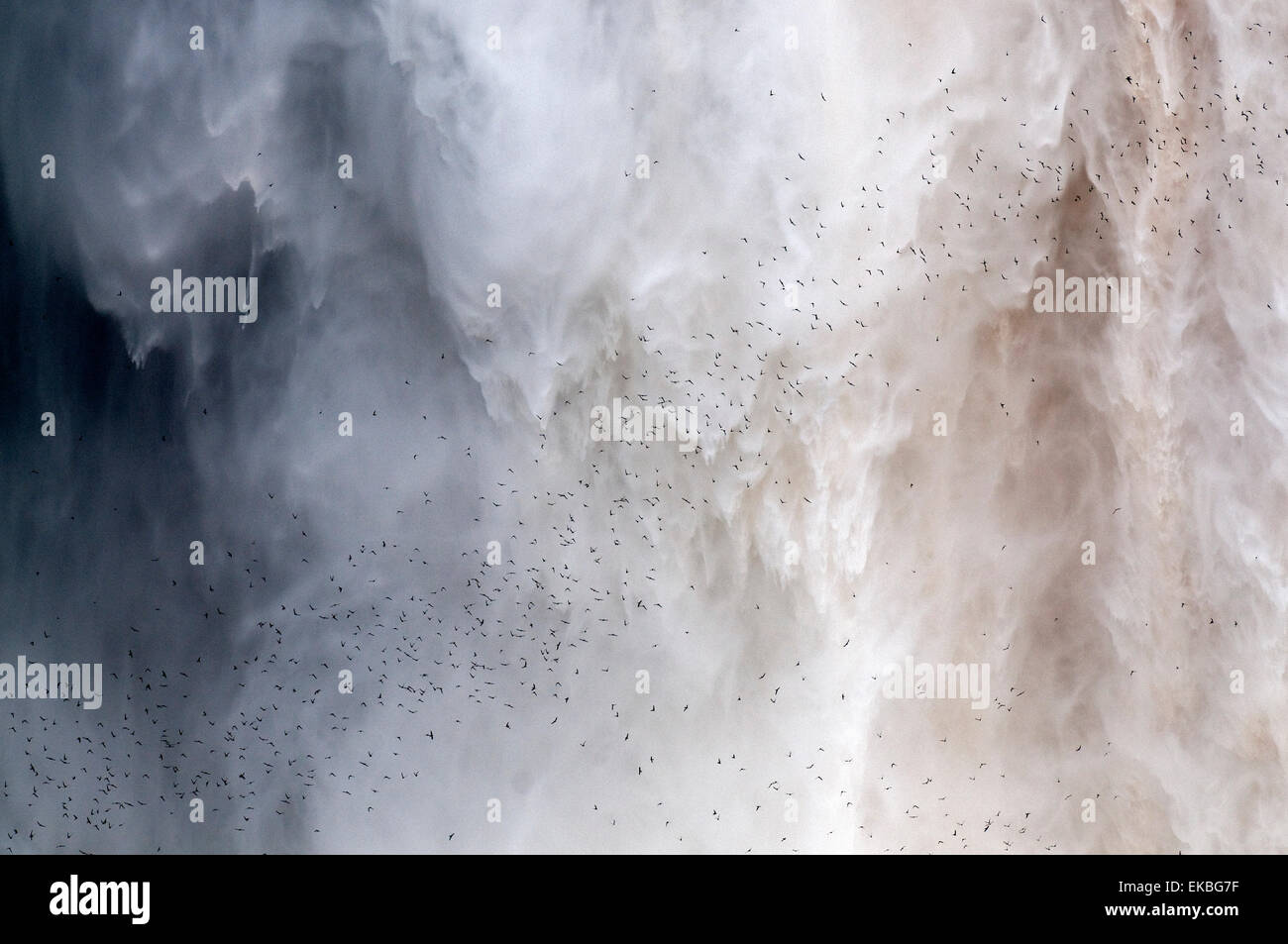 Flock of swifts flying to their roost behind the curtain of falling water of Kaieteur Falls, Guyana, South America - Stock Image