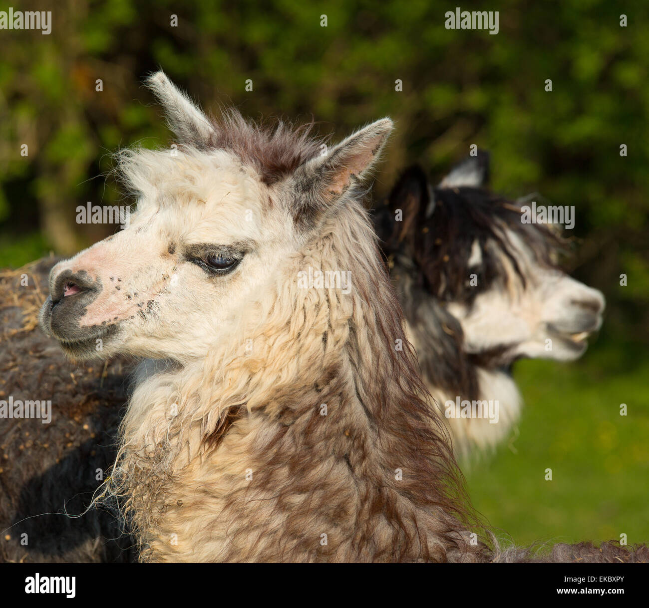 Two Alpacas in profile with head and face, resembles small llama with coat used for wool and cute smile - Stock Image