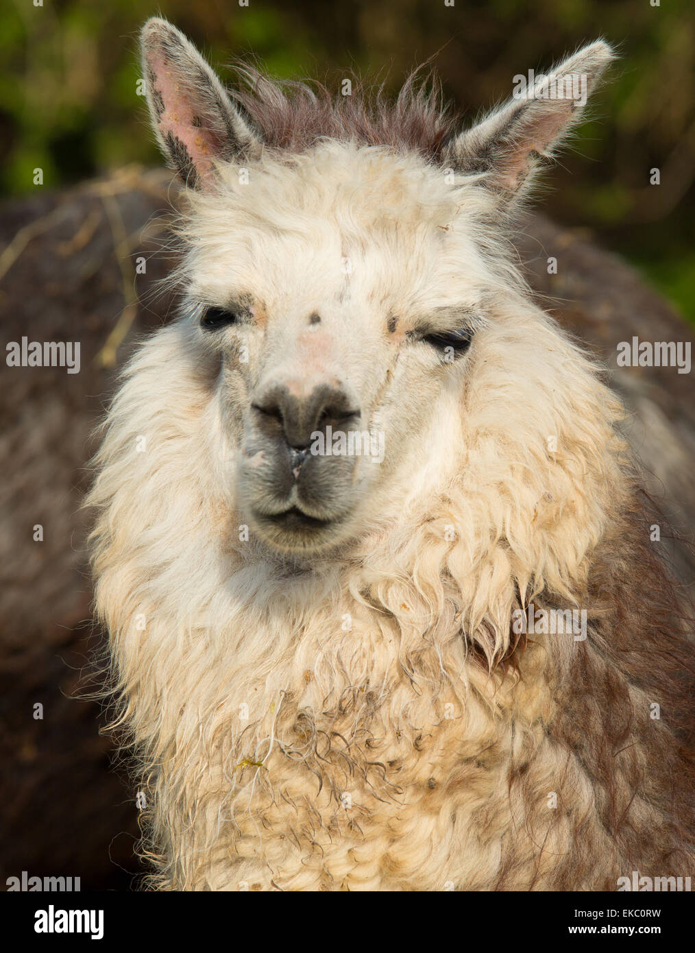 Alpaca portrait South American camelid resembles small llama with coat used for wool and cute smile - Stock Image