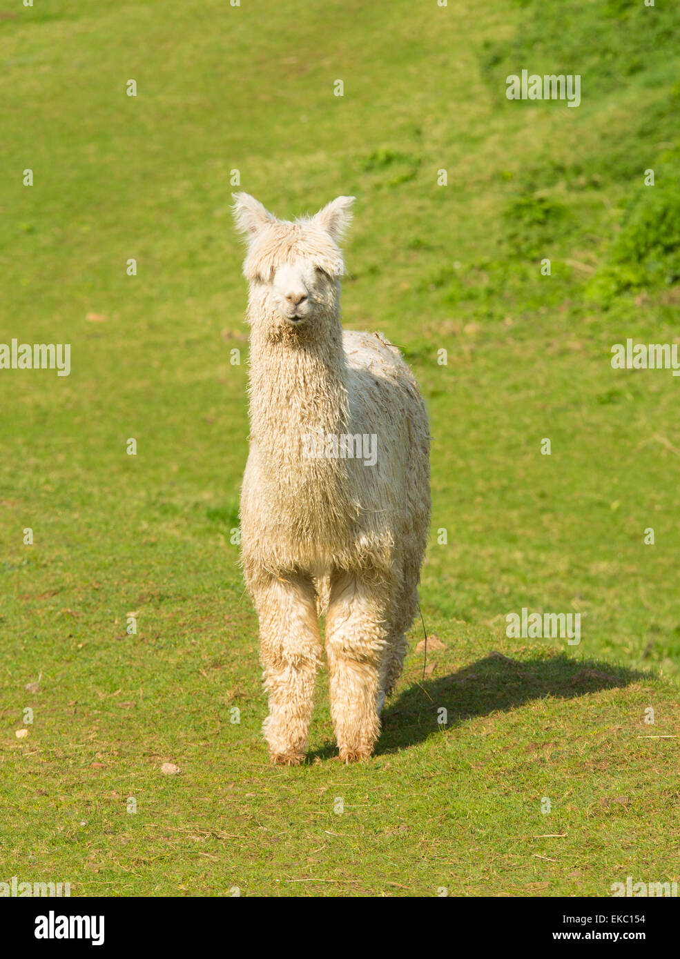 White Alpaca South American camelid resembles small llama with coat used for wool and cute smile - Stock Image