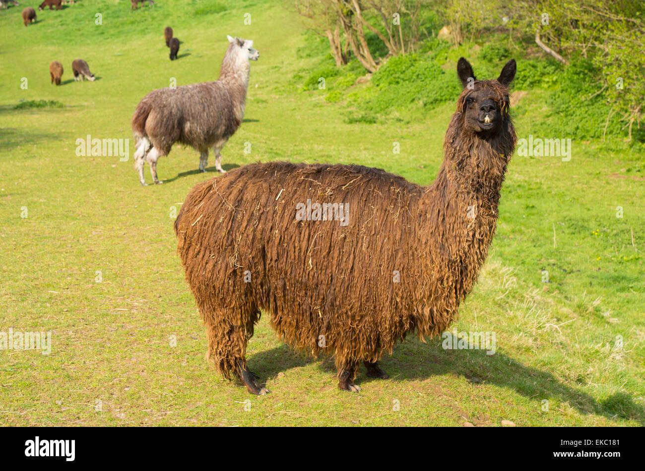 Hairy Alpaca brown shaggy coat South American camelid resembles small llama - Stock Image