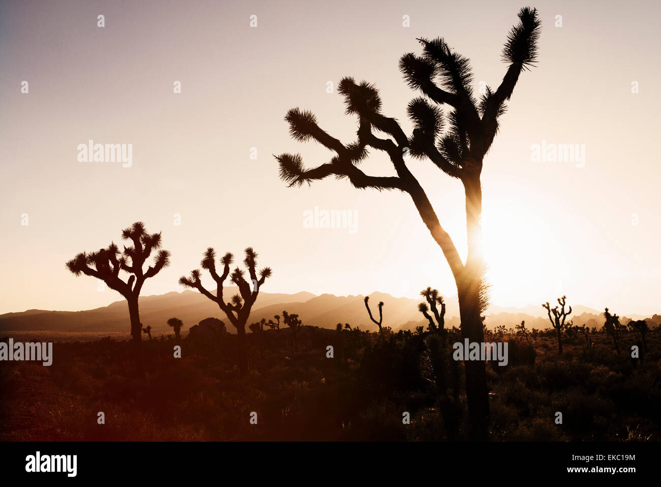 Silhouetted joshua trees, Joshua Tree National Park, California, USA - Stock Image