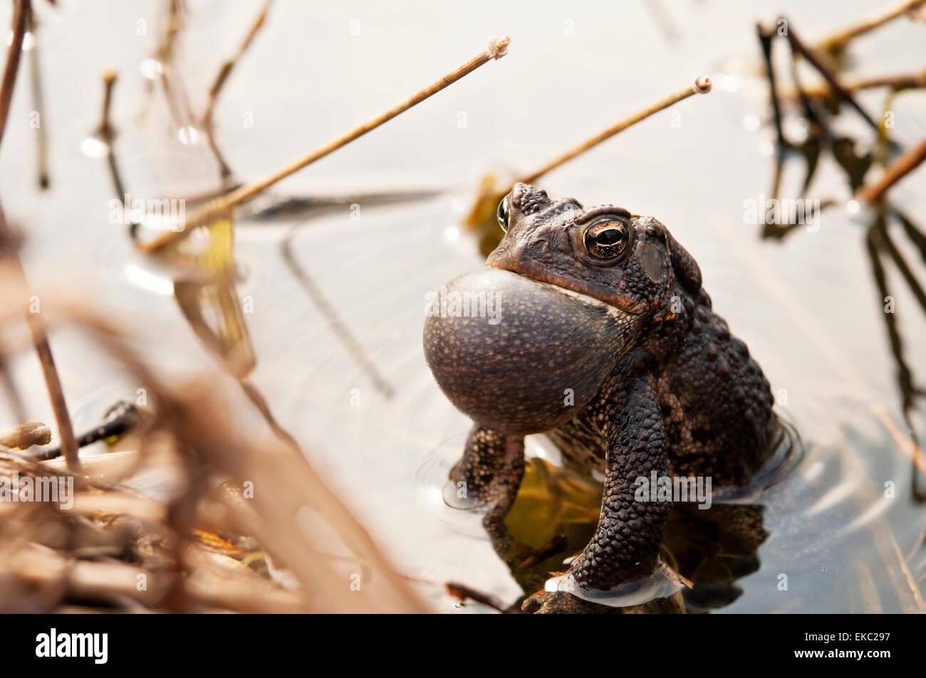 Croaking Bullfrog - Stock Image