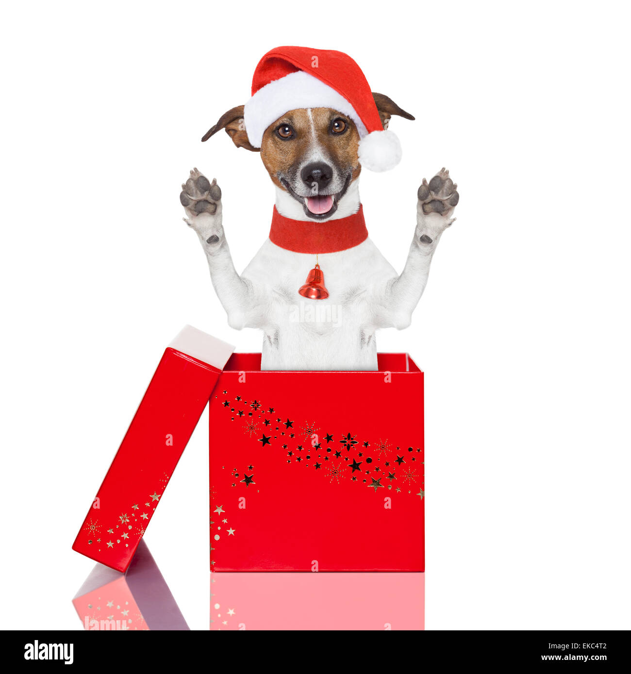 surprise christmas dog in a box - Stock Image