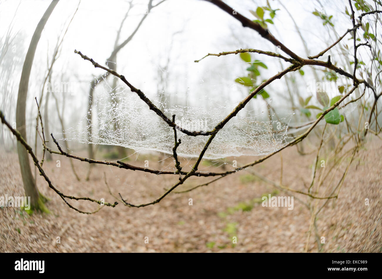 Dew caught on net of spiders web hiding woods and forest behind in thin mist - Stock Image