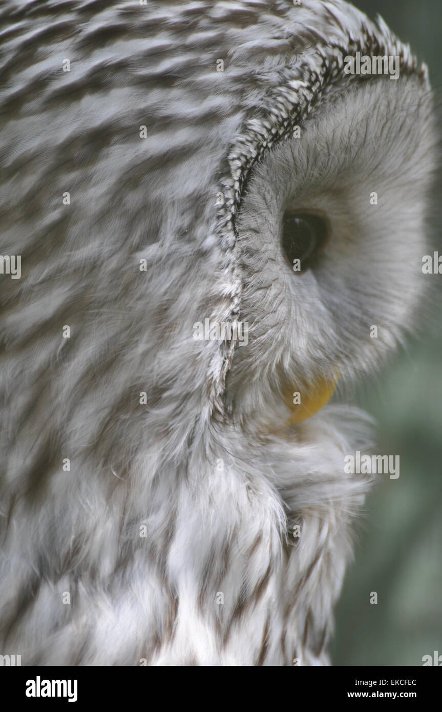 Close-up of a snowy owl - Stock Image