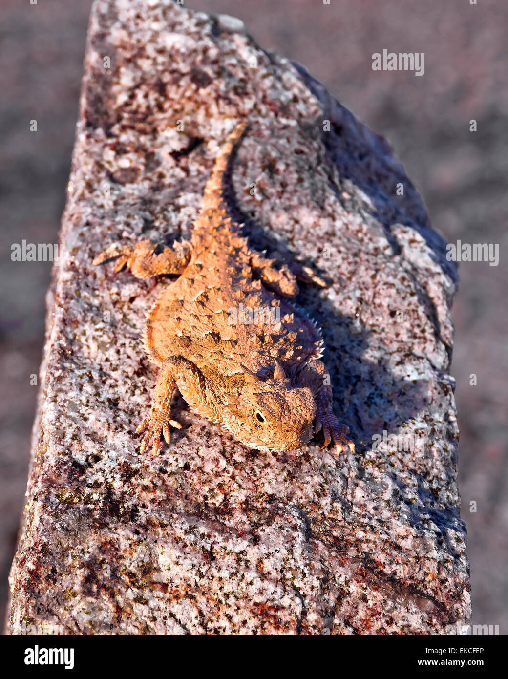 Horned Lizards Basking in sun, Arizona, USA - Stock Image