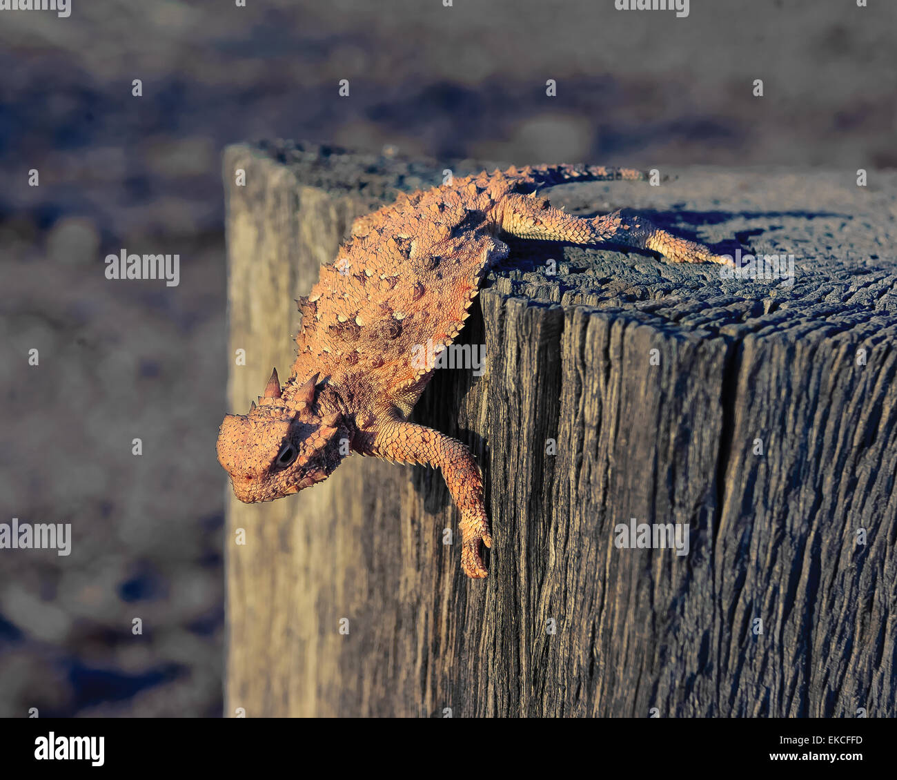 Horned Lizard crawling on a wooden post, Arizona, USA - Stock Image
