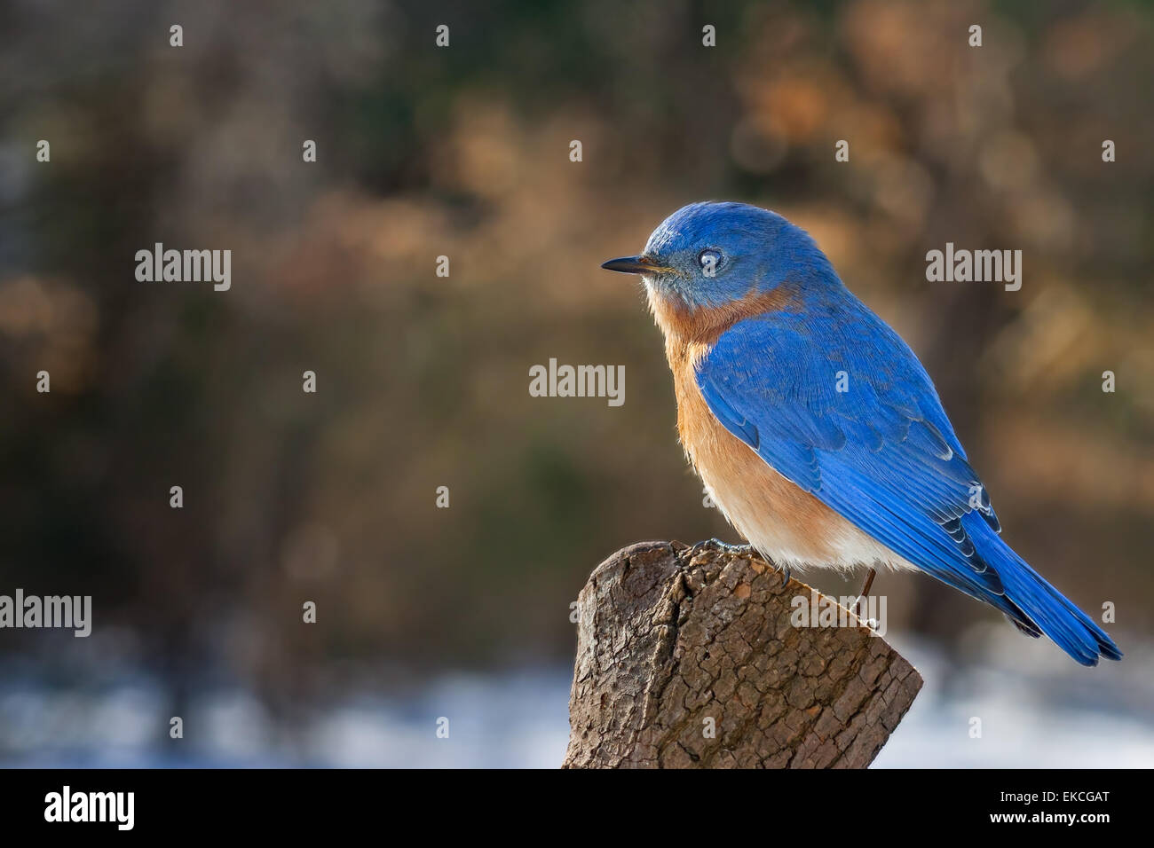 An eastern bluebird perched on a pine stump during the winter. - Stock Image