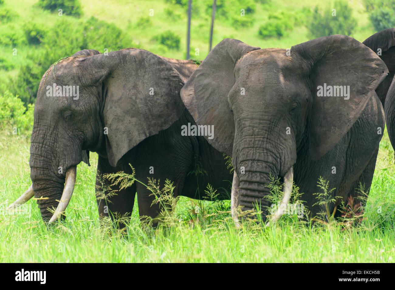 Loxodonta africana Portrait of elephants sleeping Tarangire National Park, Manyara Region, Tanzania, Africa. - Stock Image