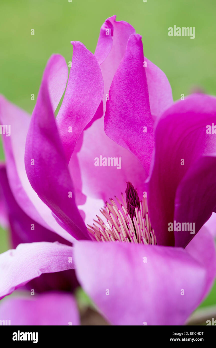 Magnolia J C Williams flower - Stock Image