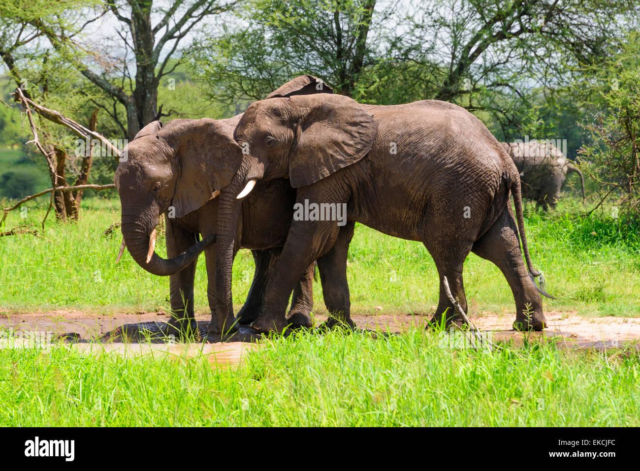 Loxodonta africana Portrait of elephants in Tarangire National Park, Manyara Region, Tanzania, Africa. - Stock Image