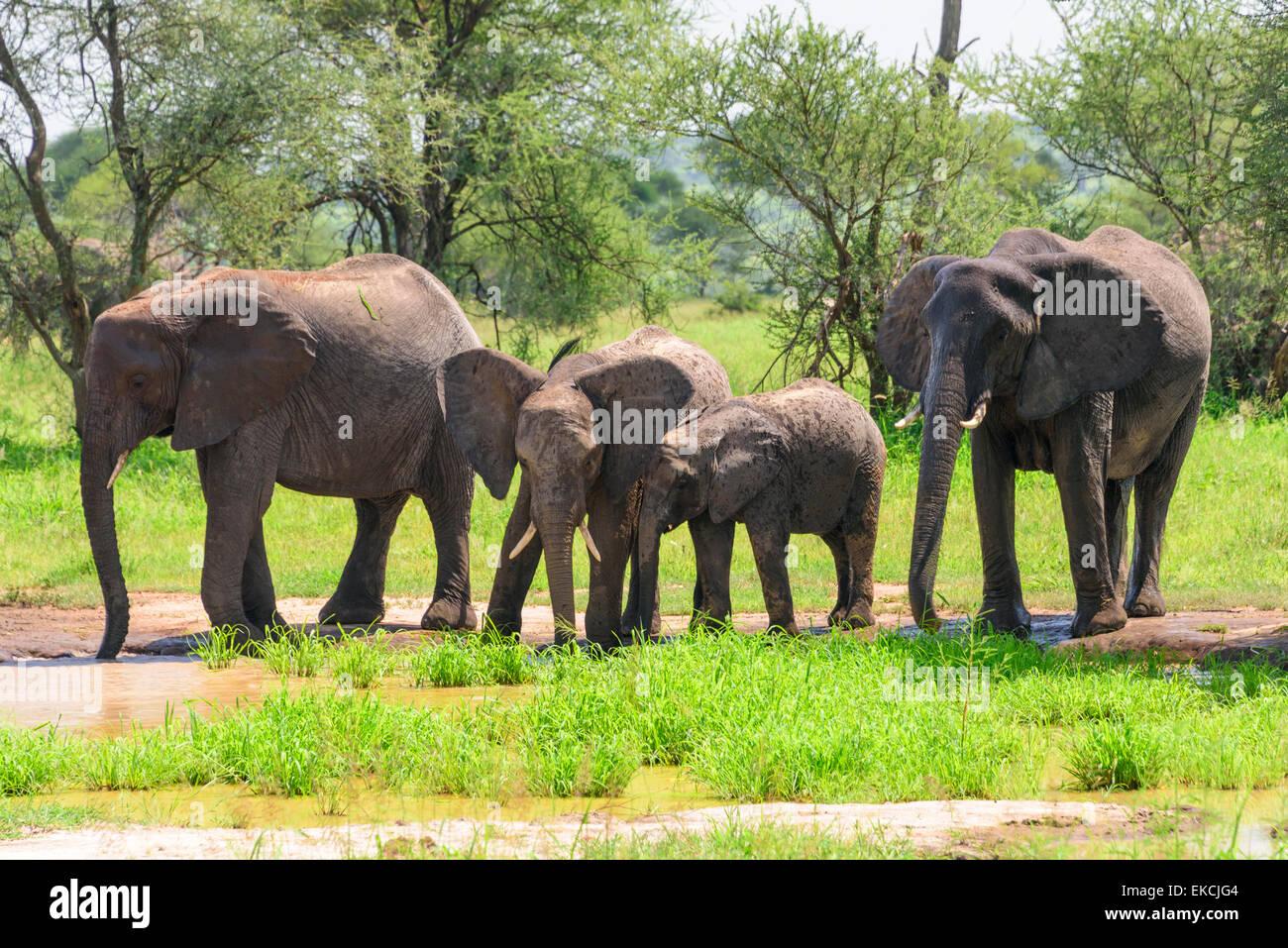 Loxodonta africana Portrait of elephant family  taking a bath in Tarangire National Park, Manyara Region, Tanzania, - Stock Image
