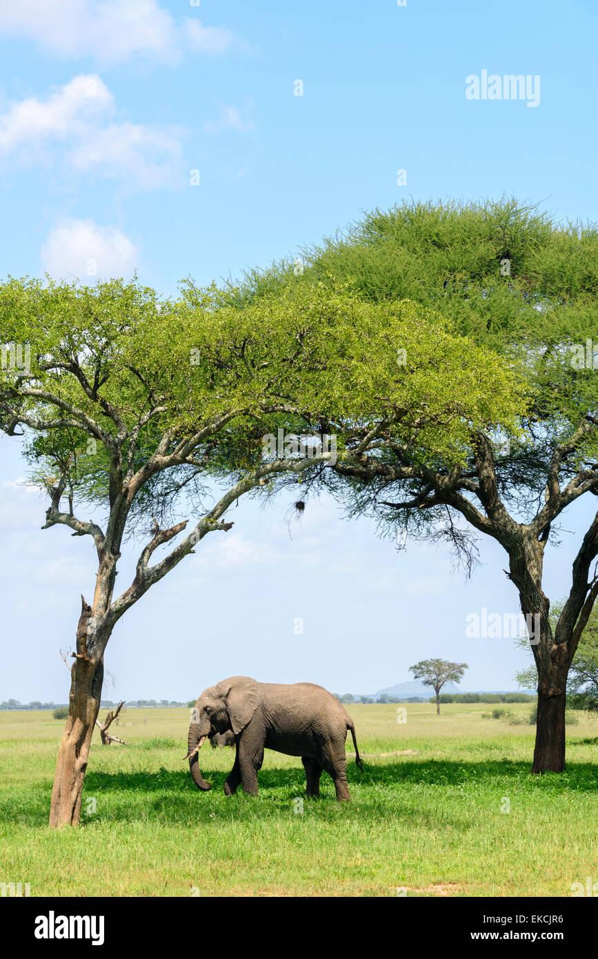 Loxodonta africana Portrait of an elephant under the acacia trees in Tarangire National Park, Manyara Region, Tanzania, - Stock Image