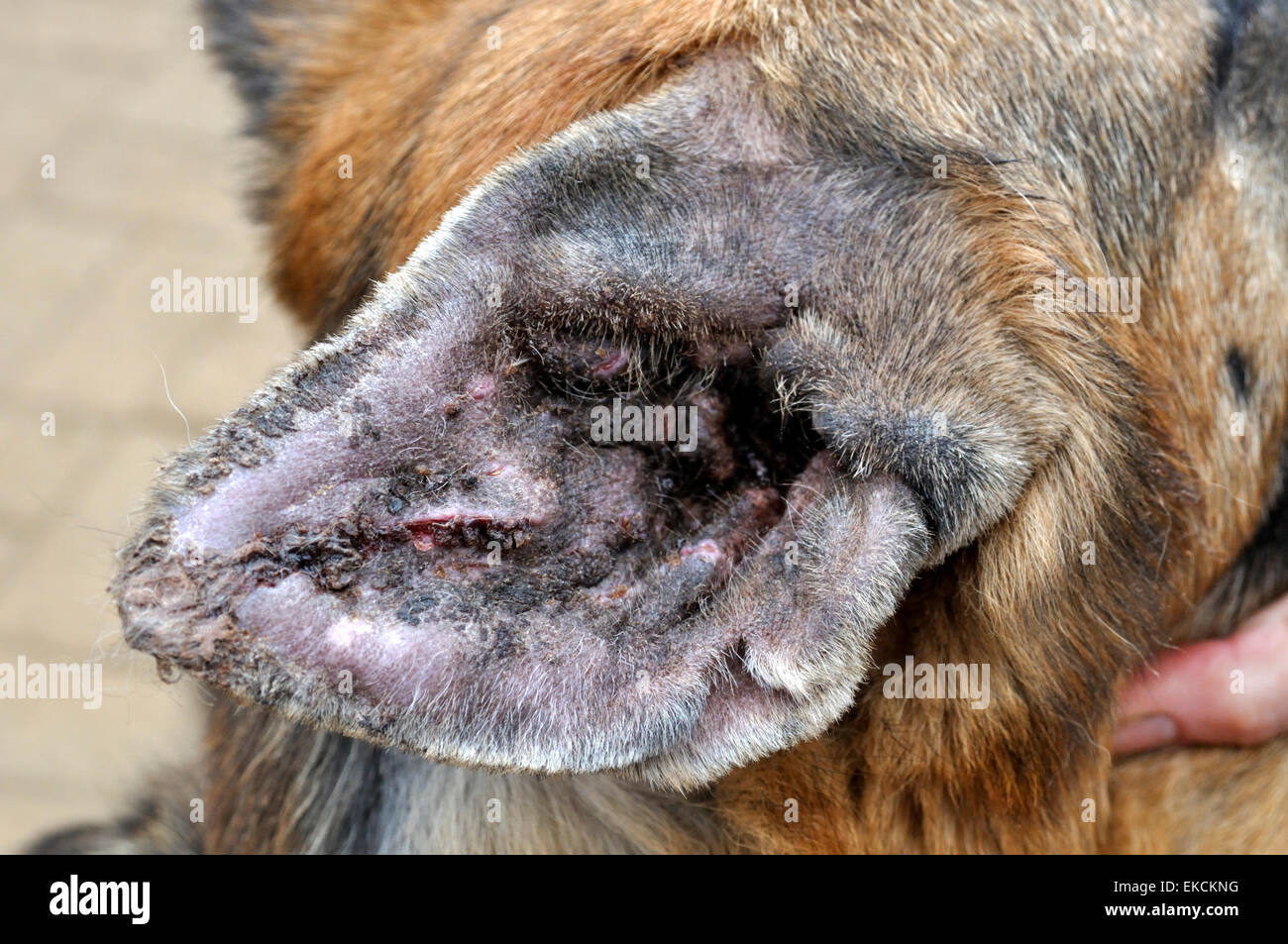 Hematoma Dog Ear Picture