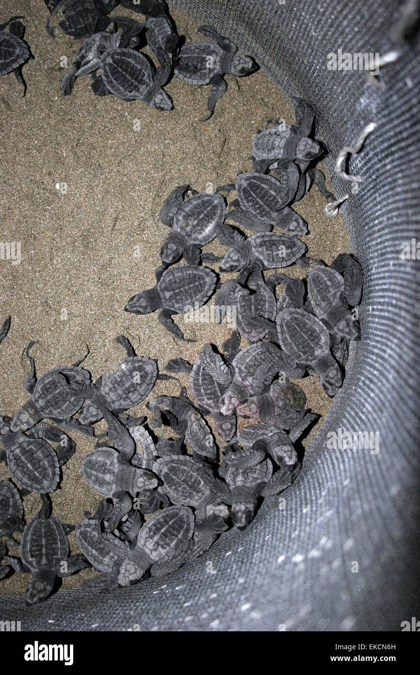 Olive Ridley sea turtle (Lepidochelys olivacea) hatchlings emerge from nest in Costa Rica - Stock Image