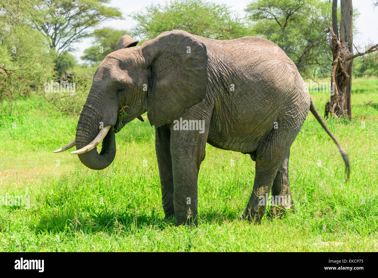 Loxodonta africana Portrait of an elephant eating in Tarangire National Park, Manyara Region, Tanzania, Africa. - Stock Image