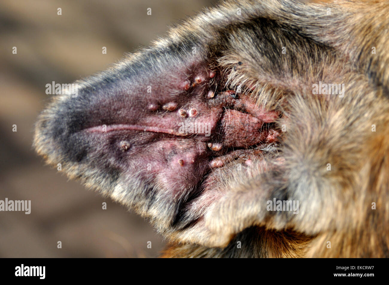 Hematoma On Dog Pictures