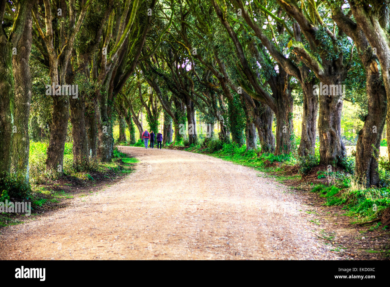 Country walk between avenue of trees ramble rambling three people walking Norwich Norfolk UK England - Stock Image