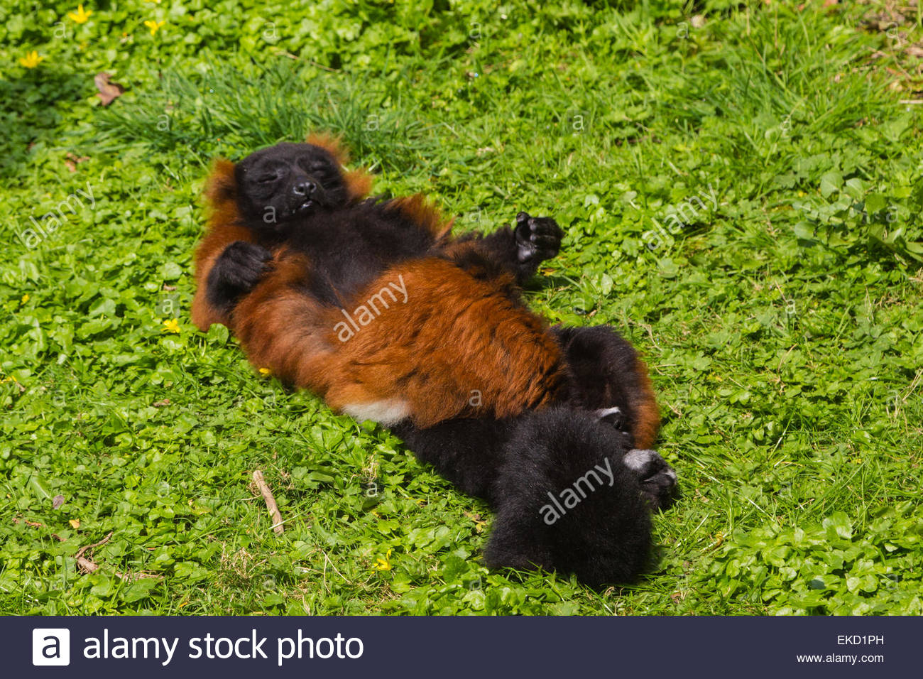 A Red-Ruffed Lemur posed like a sunbather lying on its back enjoying bright sunshine with closed eyes. - Stock Image