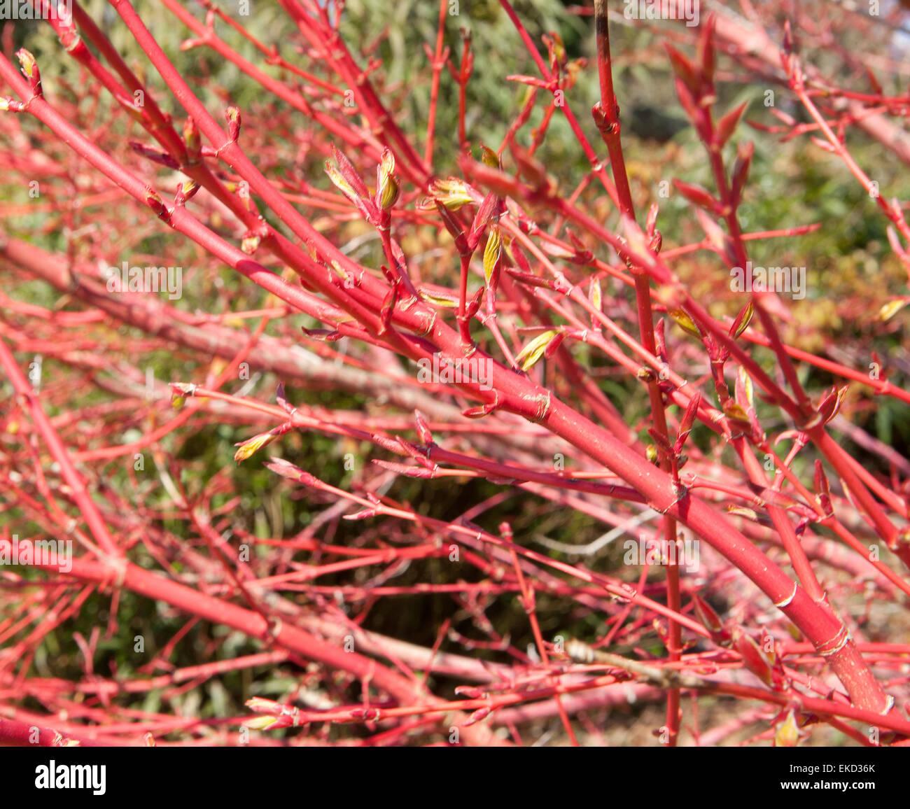 Japanese Maple Acer Palmatum Sango Kaku Syn In The Winter Garden At