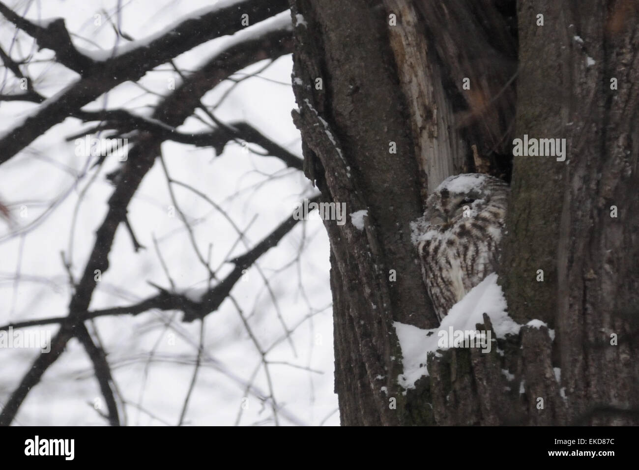 Tawny Owl in nest hole in Moscow park - Stock Image