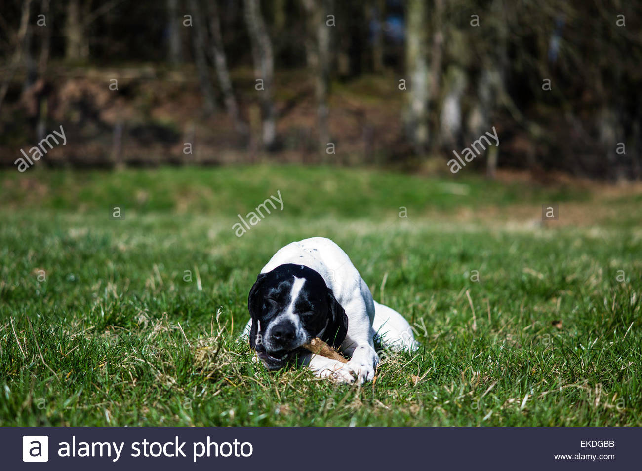 Pointer dog - Stock Image