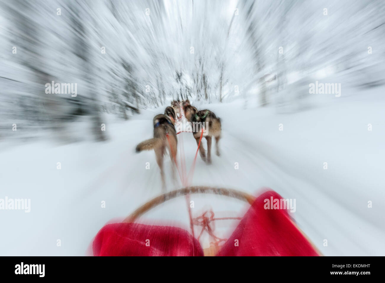Husky sled tour. Kongass. Levi. Finland. Lapland. Scandinavia - Stock Image