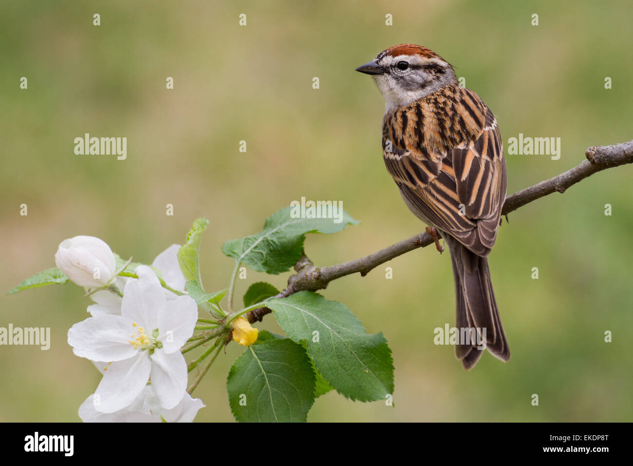 A chipping sparrow perched on a pear branch. - Stock Image