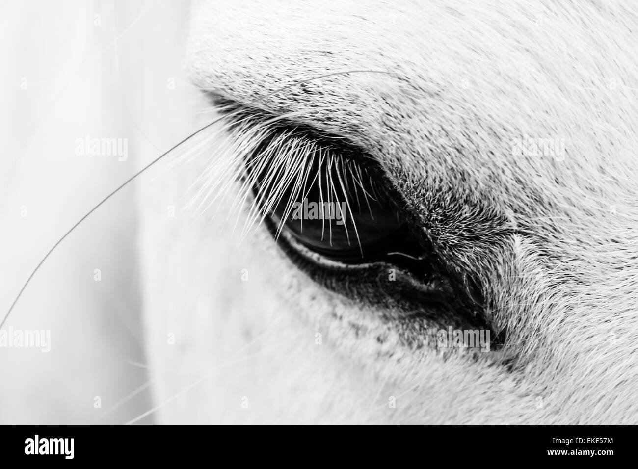 Detail of a white horse - Stock Image