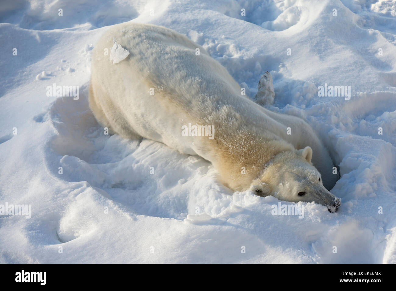 Polar bear (Ursus maritimus) female cleaning herself in the snow - Stock Image