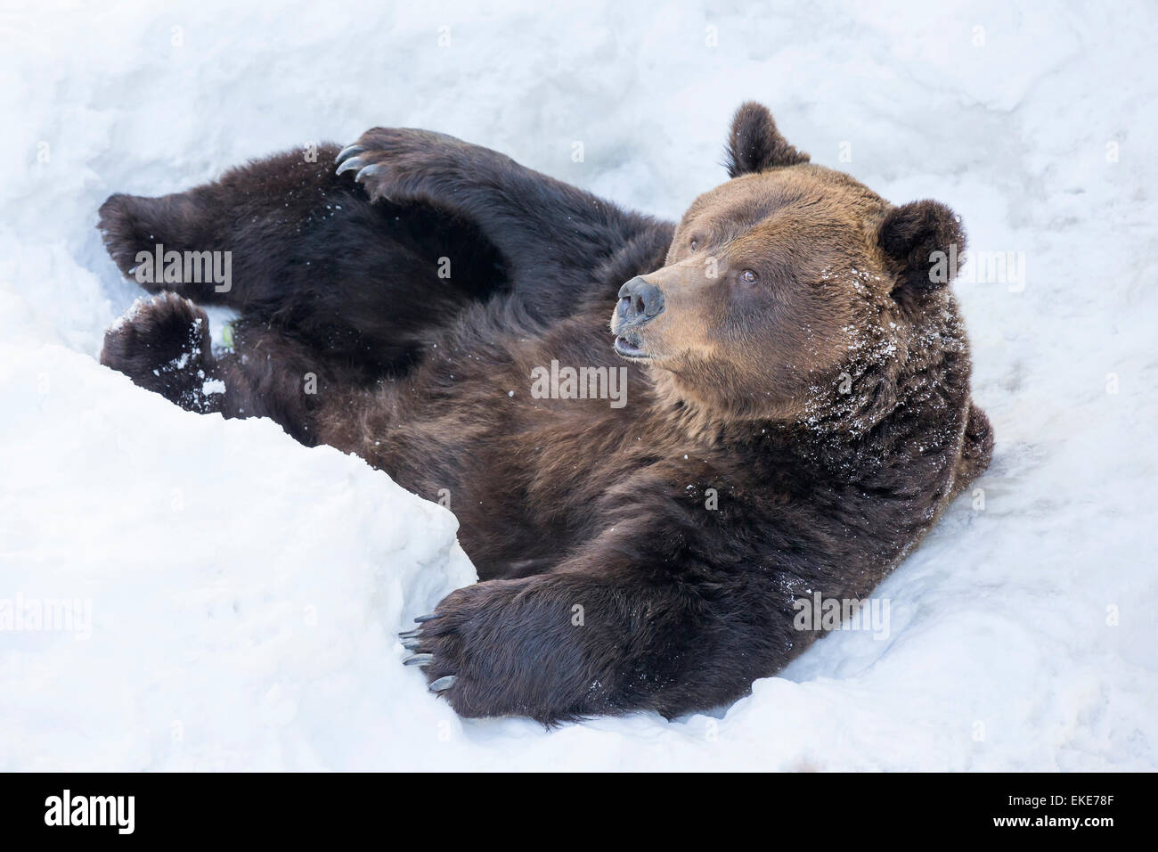 Grizzly bear (Ursus arctos horribilis) laying in the snow after emerging from a hibernation through the winter - Stock Image