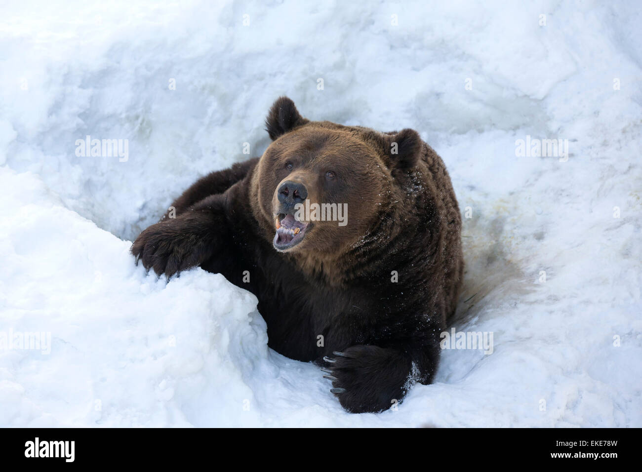 Grizzly bear (Ursus arctos horribilis) emerging from its hole in the snow after hibernation - Stock Image
