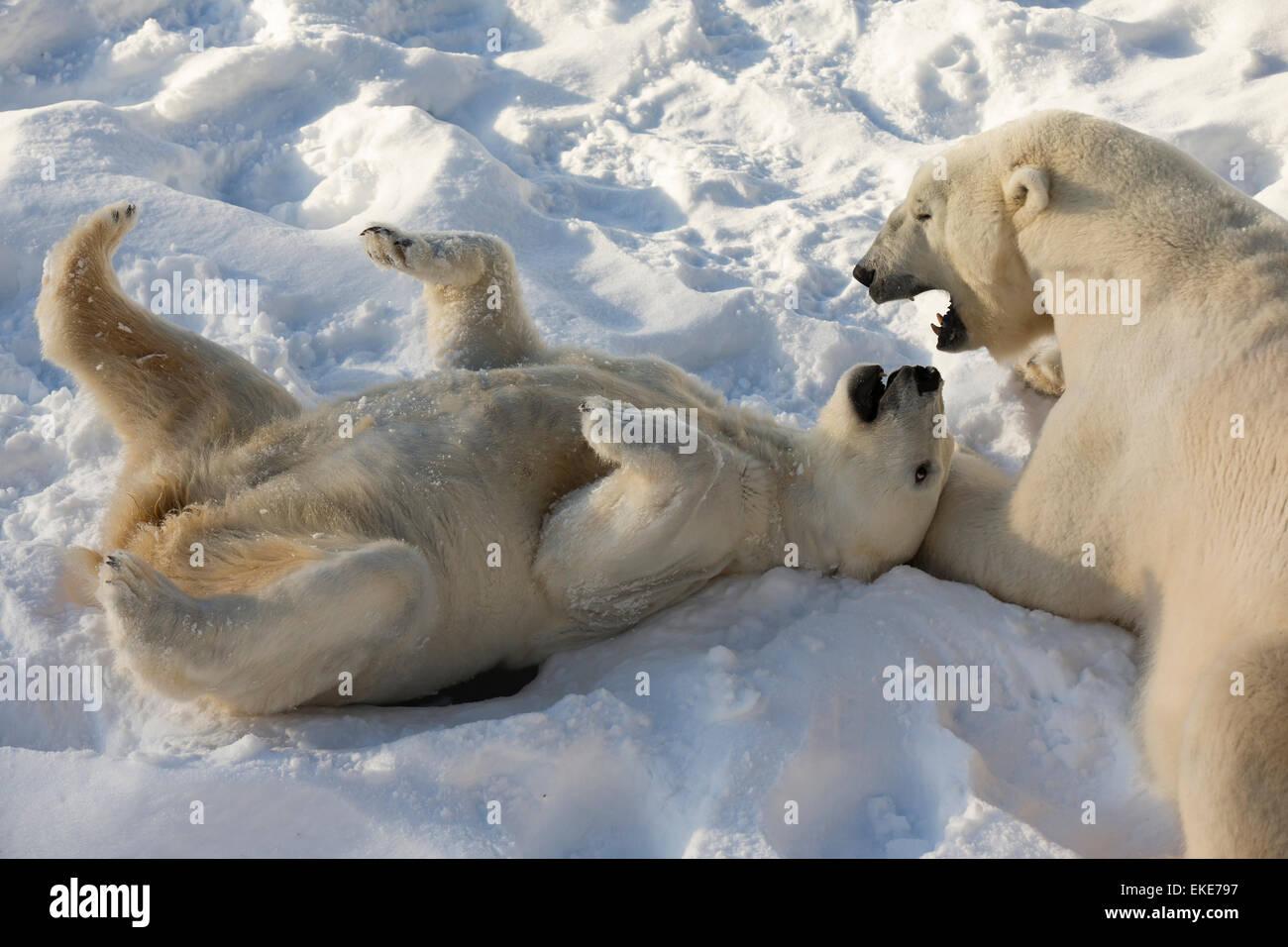 Polar bear (Ursus maritimus) male and female playing and bonding during mating season - Stock Image