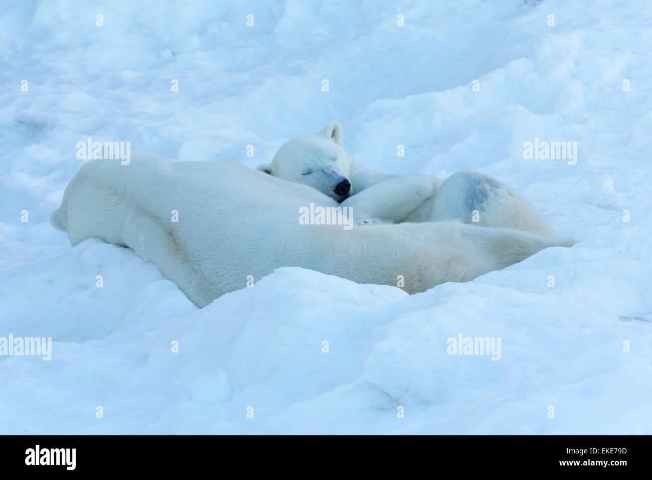 Polar bear (Ursus maritimus) male and female bears sleeping together during mateing season - Stock Image