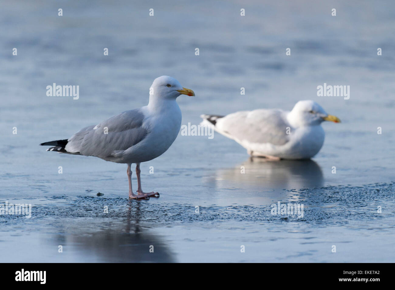 Seagulls on ice in Roath Park, Cardiff, South Wales, after a night of freezing temperatures. - Stock Image