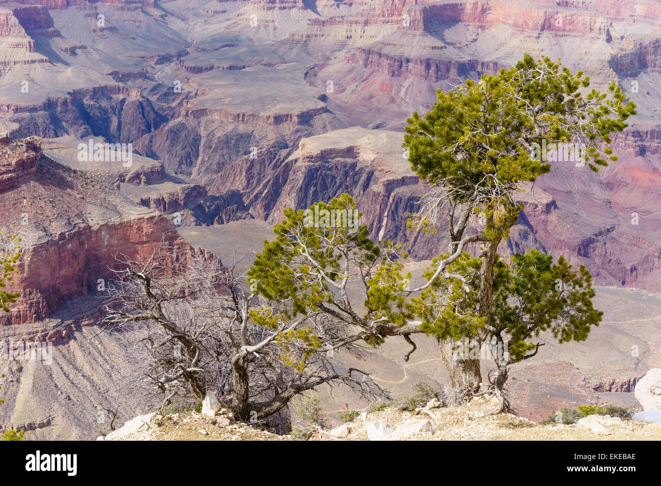 Green old arboreal survivor above ancient extreme terrain - Stock Image